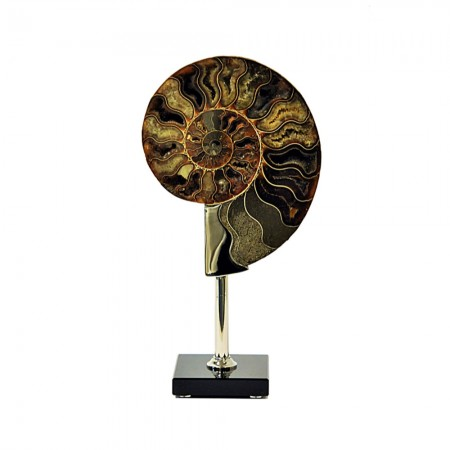 The Ammonite